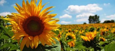 cropped-tuscan-sunflowers.jpg
